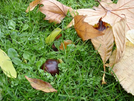 Fallen conker on ground out of case
