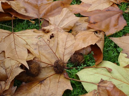 Fallen Horse Chestnuts still in cases